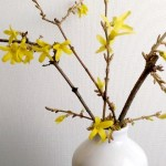 featured forsythia-force