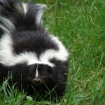 How to De-Skunk Your Dog
