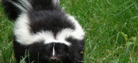 How to de Skunk a Dog (Yup – My Dog was Sprayed by a Skunk)