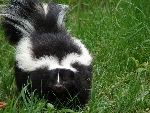 How to De-Skunk a Dog